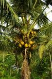 Beaucoup de noix de coco sur une paume image libre de droits