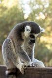 Beaucoup de noix sur le lémur de blackPlush, lémur Anneau-coupé la queue Photos stock