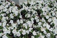 Beaucoup de pétunias blancs dans le parterre photos stock