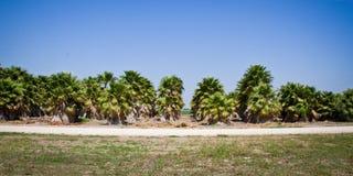 Beaucoup de palmiers dans une pépinière d'usine pour le reboisement Photo libre de droits