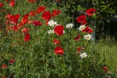 Beaucoup de pavots rouges et petites fleurs de marguerite Images libres de droits