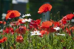 Beaucoup de pavots rouges et petites fleurs de marguerite Image stock