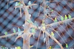 Beaucoup de perruches dans une cage en bois soustraient le fond Images stock