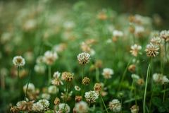 Beaucoup de petites fleurs blanches sur le champ de la basse herbe verte en ressort en retard photo libre de droits