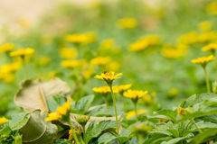 Beaucoup de petites fleurs jaunes avec des abeilles photos stock