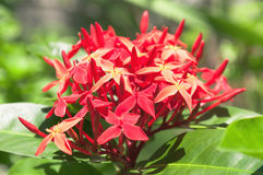 Beaucoup de petites fleurs rouges groupées avec des feuilles vertes et un fond brouillé de végétation verte Photographie stock libre de droits