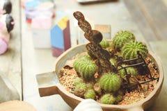 Beaucoup de petits arbres de cactus plantés dans un pot circulaire qui est décoré du gravier images libres de droits