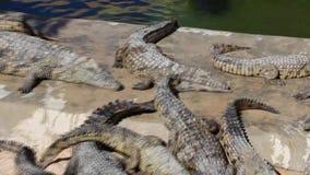 Beaucoup de petits crocodiles se dorer au soleil, se monter et ronger des os banque de vidéos