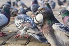 Beaucoup de pigeons Photographie stock libre de droits