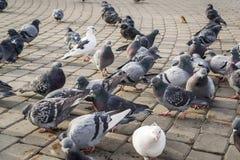 Beaucoup de pigeons Image stock