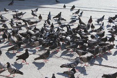 Beaucoup de pigeons alimentant sur la route photographie stock libre de droits