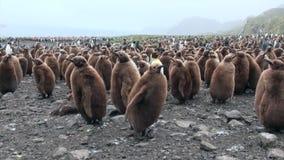 Beaucoup de pingouins de roi sur l'océan marchent sur Falkland Islands en Antarctique clips vidéos