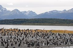 Beaucoup de pingouins s'approchent d'Ushuaia. photos libres de droits