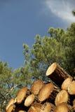 Beaucoup de pins Photographie stock libre de droits