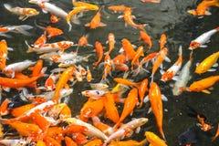 Beaucoup de poissons colorés sont venus pour obtenir de la nourriture Photo stock