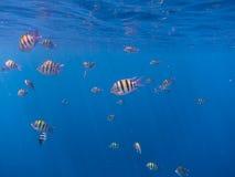 Beaucoup de poissons de sergent en mer bleue Images stock