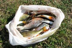 Beaucoup de poissons fraîchement pêchés de rivière dans un sachet en plastique se trouvent au sol dans l'herbe sous la lumière du photographie stock libre de droits