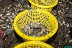 Beaucoup de poissons SA-allumés par muscle pectoral de trichogaster Image stock