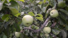 Beaucoup de pommes sur l'arbre clips vidéos