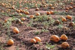 Beaucoup de potirons oranges sur un champ utilisable pour une soupe ou un Halloween photos stock