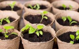 Beaucoup de pots de tourbe avec la jeune plante de légumes Photos stock