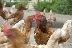 Beaucoup de poulets à la ferme image libre de droits