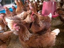 Beaucoup de poulets sont dans la ferme photo stock