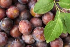 Beaucoup de prunes mûres bleues Photographie stock