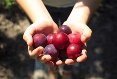 Beaucoup de prunes rouges d'insecte sur une paume ouverte photographie stock