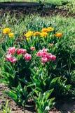 Beaucoup de rose et orange, les tulipes jaunes se développent dans la terre dans le jardin, sur un lit de fleur Jardin de source  photographie stock libre de droits