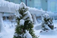 Beaucoup de roseaux dans la neige Photo stock