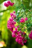 Beaucoup de roses roses photographie stock libre de droits