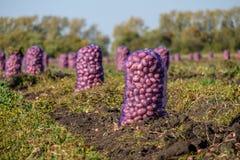 Beaucoup de sacs des pommes de terre dans le domaine nouvellement tourné après récolte Image stock