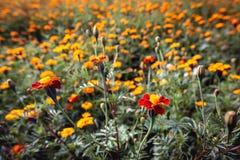 Beaucoup de soucis de fin fleurissante rouge et orange  image stock