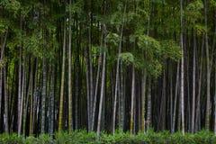 Beaucoup de tiges en bambou, arbres en bambou, horizontaux Image libre de droits