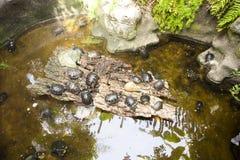 Beaucoup de tortues dans l'eau et sur le rivage Images stock