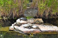 Beaucoup de tortues les prenant un bain de soleil Photos libres de droits