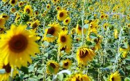 Beaucoup de tournesols jaunes dans un terrain Photo stock