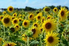 Beaucoup de tournesols jaunes dans un terrain Images stock