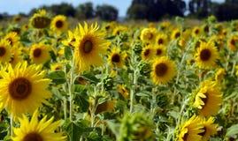 Beaucoup de tournesols jaunes dans un terrain Photographie stock libre de droits