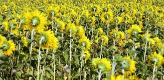 Beaucoup de tournesols jaunes dans un terrain Image libre de droits