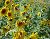 Beaucoup de tournesols jaunes dans un terrain Photo libre de droits