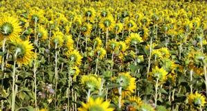 Beaucoup de tournesols jaunes dans un terrain Image stock