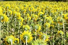 Beaucoup de tournesols jaunes dans un terrain Photos stock