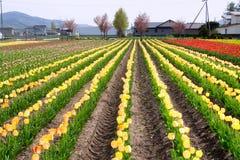 Beaucoup de tulipes jaunes au-dessus de ciel bleu Images stock