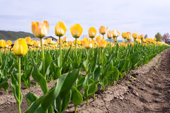 Beaucoup de tulipes jaunes au-dessus de ciel bleu Image libre de droits