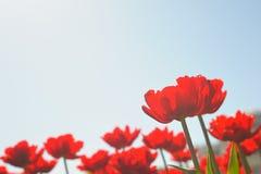 Beaucoup de tulipes rouges Photographie stock