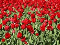 Beaucoup de tulipes rouges dans un domaine de tulipe photographie stock libre de droits