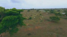 Beaucoup de vaches frôlent sur les collines vertes banque de vidéos