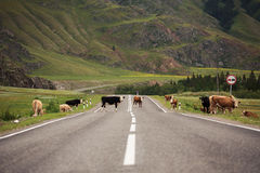 Beaucoup de vaches sur la route rurale Photographie stock libre de droits